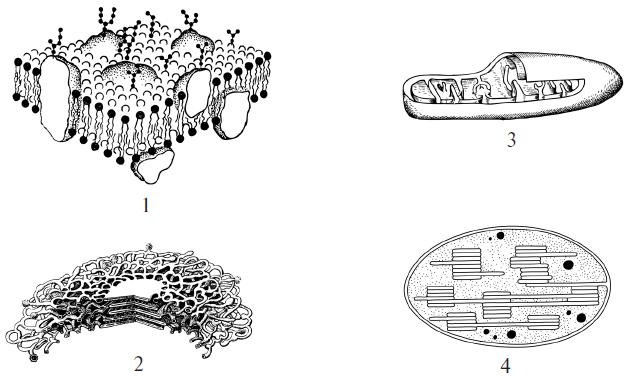 Картинки органоидов клетки егэ с подписями
