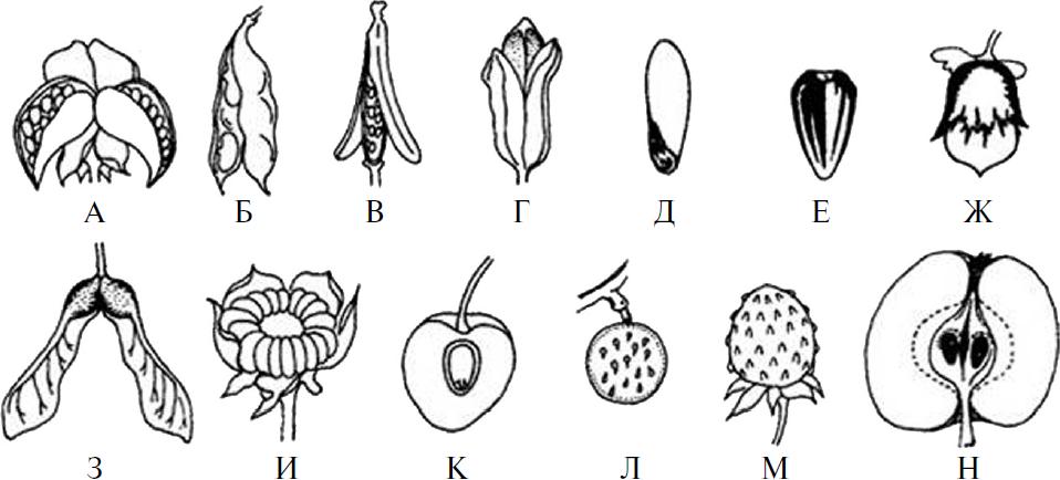 зародыш у растений как называется - 5