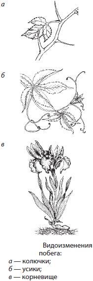 Типы стебля ползающий
