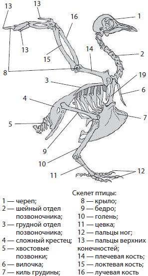 это отделы скелета у птиц решили термобелье комплект