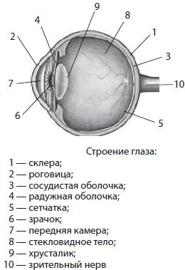 О зависимости цвета фиброзной оболочки глаза человека и его сексуальной ориентации