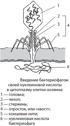 Клетки стебля ромашки от клеток кожи лягущки отличаются